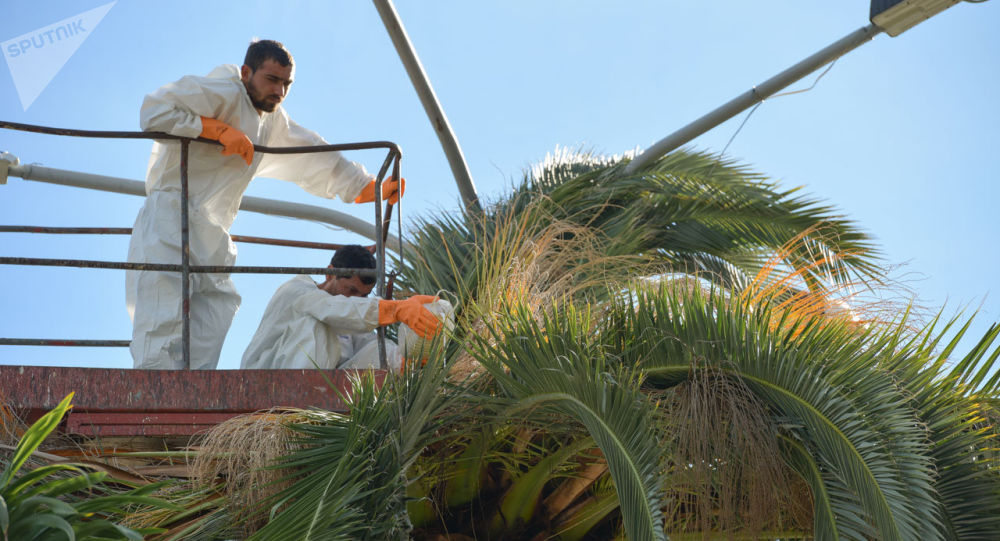 Лечение пальм от долгоносика