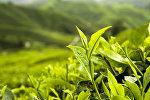 Чайная плантация. Архивное фото.