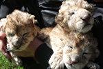 Новорожденные львята. Архивное фото