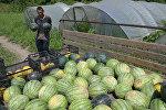 Как в абхазском селе собирают арбузы