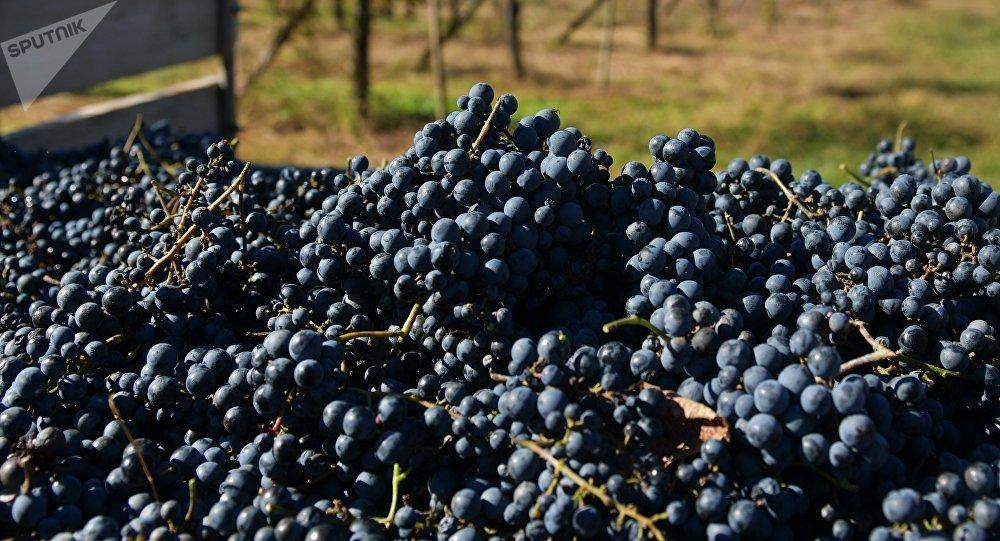 Сбор винограда в Абхазии