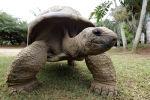 Слоновые черепахи (галапагосская черепаха) во время брачного периода-спаривания. Маврикий.