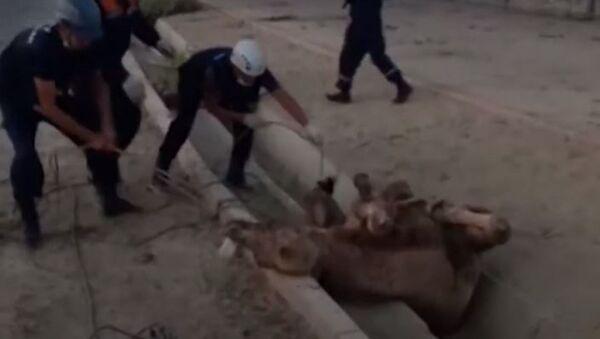В Казахстане спасли верблюда из водостока - Sputnik Абхазия