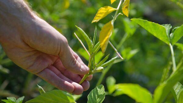 Техническую культуру гуар, которую используют в пищевой и нефтедобывающей промышленности, начали выращивать в Абхазии  - Sputnik Абхазия
