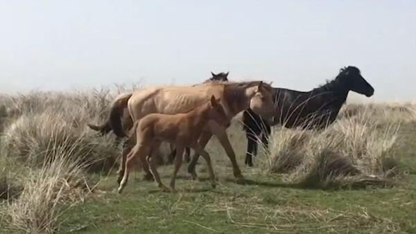 Первый в мире клон лошади Пржевальского - Sputnik Абхазия