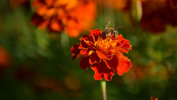 Пчела опыляет цветок - Sputnik Аҧсны