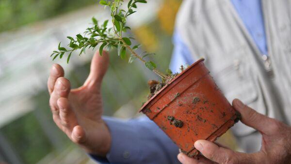 Открытие питомника по выращиванию самшита в АБНИЛОСе - Sputnik Абхазия