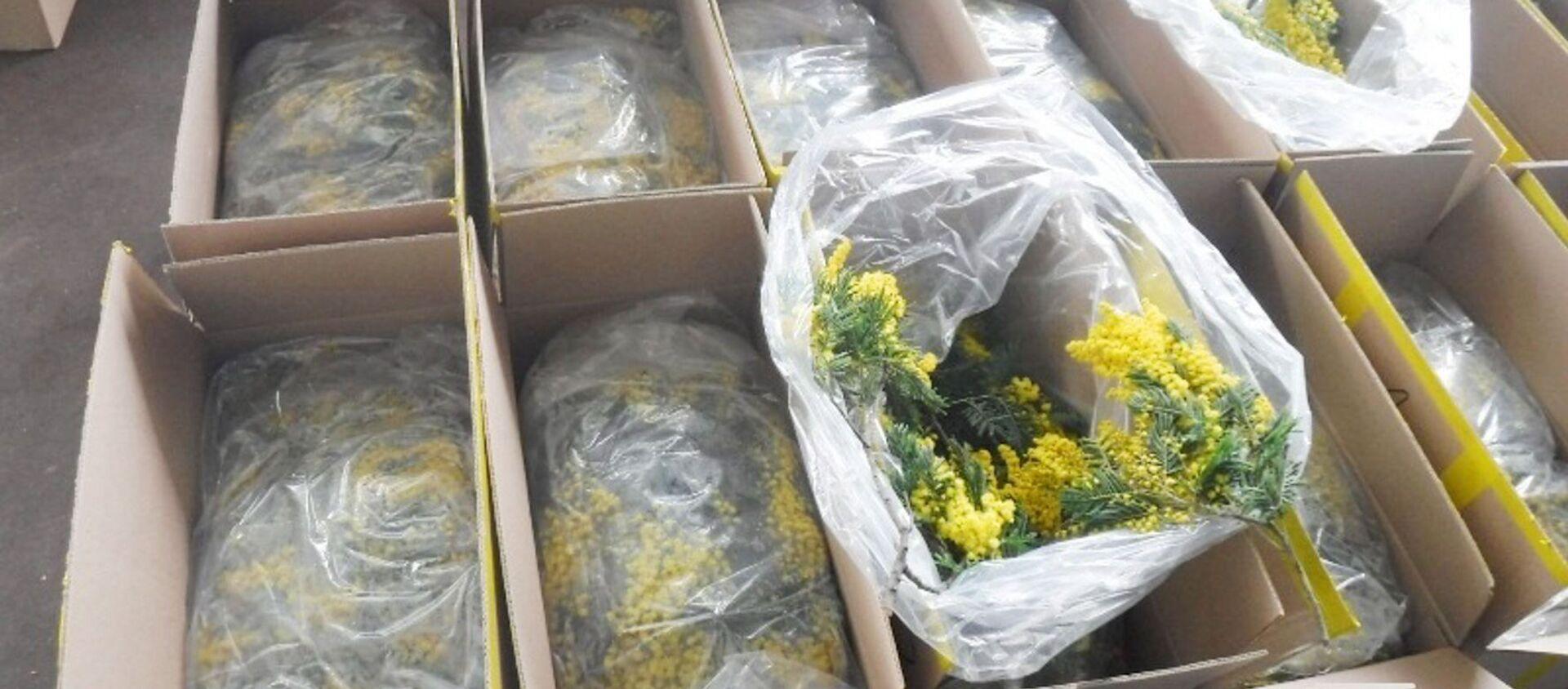 На российско-абхазской границе ввозят первые цветы мимозы  - Sputnik Аҧсны, 1920, 04.02.2021