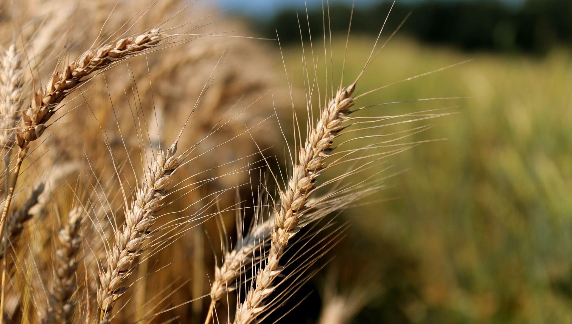 Демонстрация научных разработок по выращиванию пшеницы - Sputnik Аҧсны, 1920, 17.02.2021