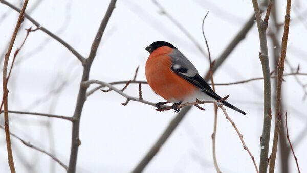 Птицы городских лесов и парков Карелии - Sputnik Абхазия