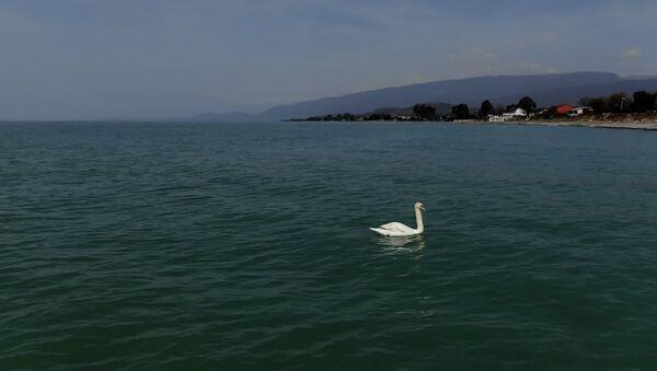 Лебединое море: как белоснежная птица облюбовала море в Сухуме - Sputnik Абхазия