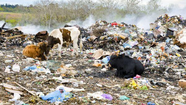 На свалке обитают собаки и коровы, которые приходят туда для того, чтобы найти еду.  - Sputnik Абхазия