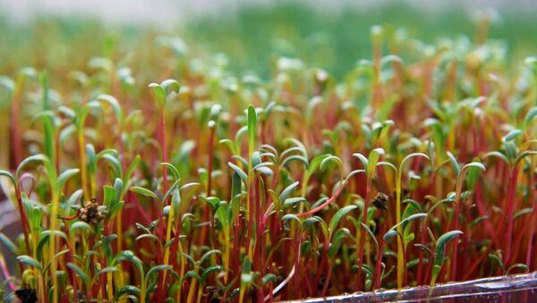 Размер имеет значение: в Абхазии стали выращивать микрозелень - Sputnik Абхазия