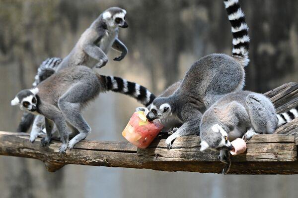 Лемуры едят замороженные фрукты, чтобы охладиться в жару в римском зоопарке. - Sputnik Абхазия