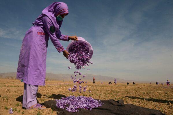 Афганская женщина собирает цветы шафрана в поле на окраине Герата. - Sputnik Абхазия