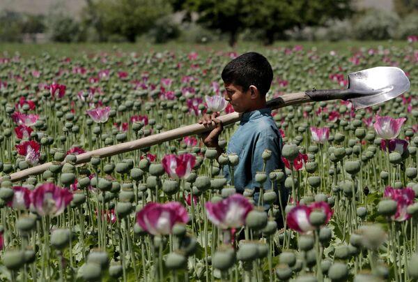 Афганский мальчик идет через маковое поле в районе Джелалабада к востоку от Кабула, Афганистан. - Sputnik Абхазия