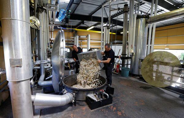 Рабочие готовят цветы жасмина для экстракта аромата, который будет использоваться для создания духов Шанель №5 - Sputnik Абхазия