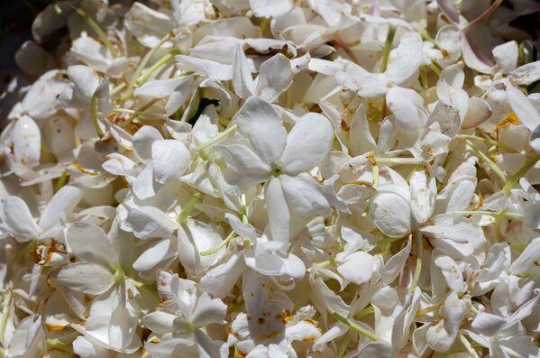 Цветы жасмина, идущие на переработку для создания парфюма Шанель №5 - Sputnik Абхазия