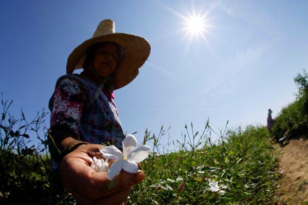 Сборщик собирает цветы жасмина для изготовления духов Шанель №% на полях в Пегомасе на юге Франции - Sputnik Абхазия