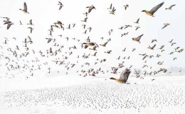 Снимок Pink-Footed Geese Meeting the Winter фотографа Terje Kolaas, победивший в конкурсе Drone Awards 2021  - Sputnik Абхазия