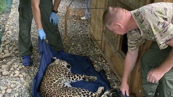 Центре восстановления леопарда на Кавказе - Sputnik Абхазия