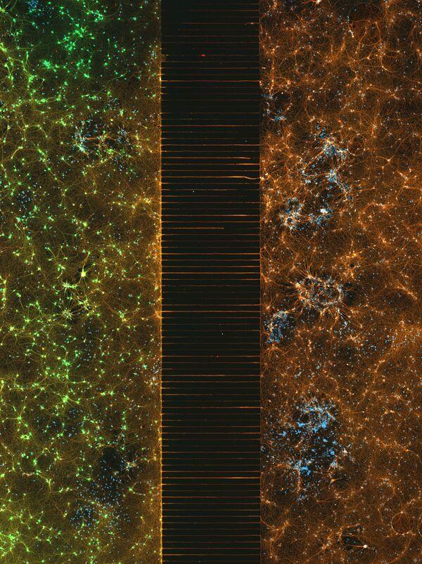 Снимок A microfluidic device containing 300k networking neurons in 2 isolated population австралийских фотографов Esmeralda Paric и Holly Stefen, занявший второе место в фотоконкурсе Nikon Small World 2021 - Sputnik Абхазия