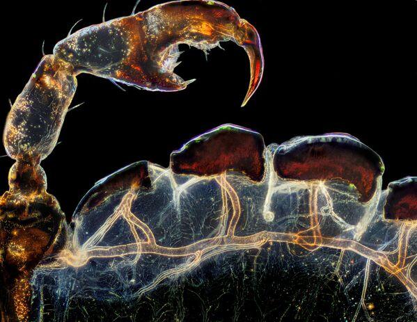 Снимок Rear leg, claw, and respiratory trachea of a louse американского фотографа Frank Reiser, занявший третье место в фотоконкурсе Nikon Small World 2021 - Sputnik Абхазия