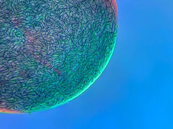 Снимок Filamentous strands of Nostoc cyanobacteria captured inside a gelatinous matrix датского фотографа Martin Kaae Kristiansen, занявший 17-е место в фотоконкурсе Nikon Small World 2021 - Sputnik Абхазия