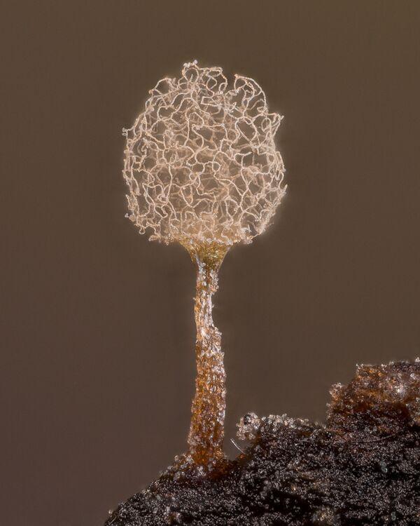 Снимок Slime mold американского фотографа Alison Pollack, занявший 20-е место в фотоконкурсе Nikon Small World 2021 - Sputnik Абхазия