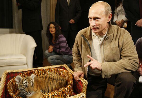 Премьер-министр РФ Владимир Путин познакомил журналистов с тигренком, которого ему подарили на день рождения 7 октября. 2,5 месячная самка амурского тигра скоро переедет из резиденции Ново-Огарево в зоопарк. - Sputnik Абхазия