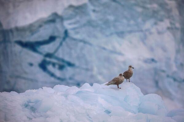 Чайки на леднике Экип Сермия в Гренландии - Sputnik Абхазия