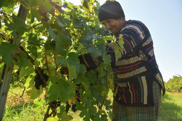 На плантациях трудится несколько десятков крестьян из разных сел республики. - Sputnik Абхазия