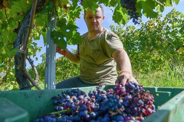 В Абхазии собирают урожай винограда, в том числе на плантациях в селе Гумиста. - Sputnik Абхазия