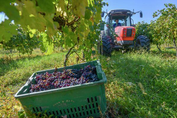 Собранный виноград вывозят на тракторах. - Sputnik Абхазия