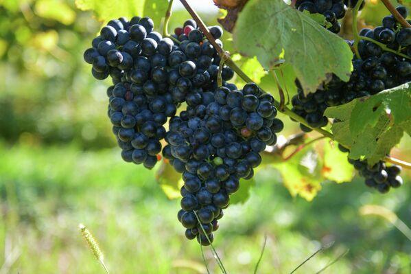 Гроздья винограда на солнце. - Sputnik Абхазия