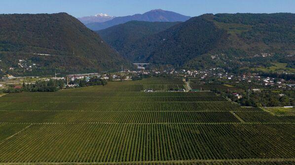 Всего в Гумисте 70 гектаров виноградников. - Sputnik Абхазия