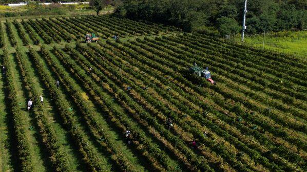 Так выглядит сбор винограда с высоты птичьего полета. - Sputnik Абхазия