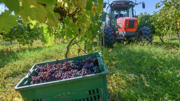 Винное дело: как собирают виноград в селе Гумиста  - Sputnik Абхазия