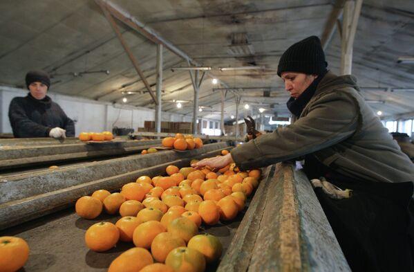 В цехе сортировки мандаринов - Sputnik Абхазия