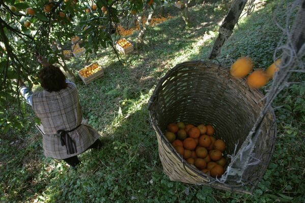Сбор мандаринов в Абхазии - Sputnik Абхазия