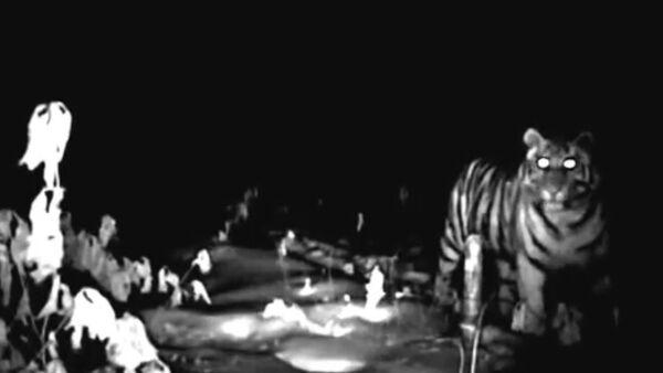 Выпущенная Путиным на волю тигрица Илона впервые попала в видеоловушку - Sputnik Абхазия