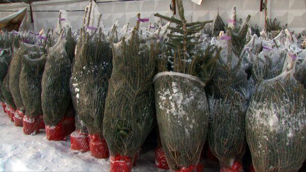 Как выбрать живую елку в горшке и сохранить до высадки в грунт - Sputnik Абхазия