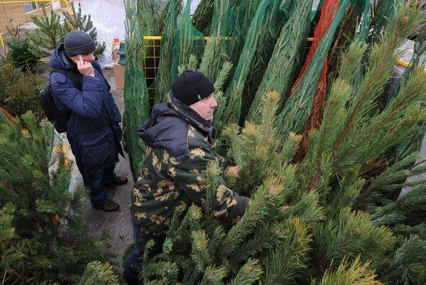 Покупатель выбирает новогоднюю елку. Архивное фото. - Sputnik Абхазия