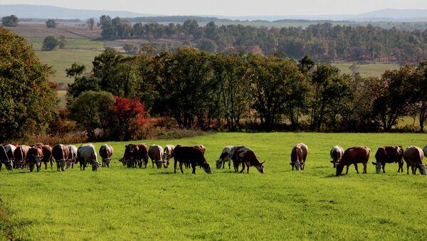 Стадо коров. Архивное фото. - Sputnik Аҧсны