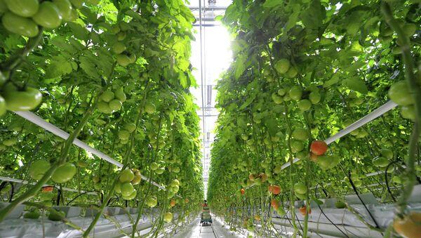 Выращивание овощей в теплицах. Архивное фото. - Sputnik Абхазия
