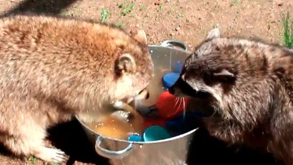 Еноты Маша и Артем мыли посуду и плескались в ушате с водой - Sputnik Абхазия