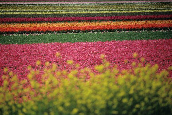 Поле голландских тюльпанов. Архивное фото. - Sputnik Абхазия
