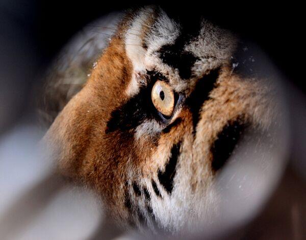 Спасенного амурского тигра доставили в сафари-парк. Архивное фото - Sputnik Абхазия