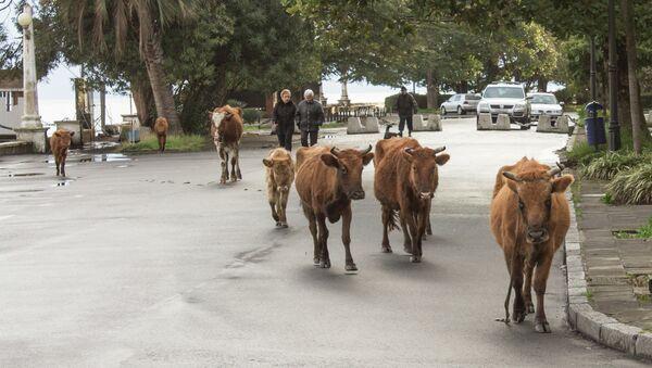 Скот на дорогах. - Sputnik Абхазия