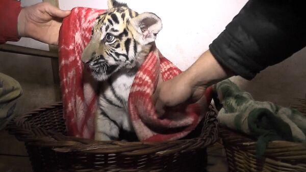 Сотрудники обесточенного сафари-парка кутали тигрят в одеяла в Крыму - Sputnik Абхазия